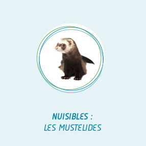 nuisibles mustelides